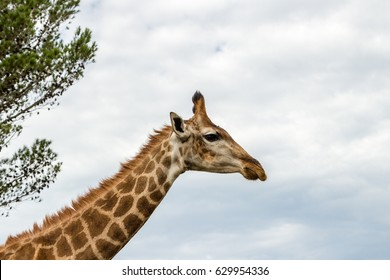 A close up photo of a  giraffe's neck and head with trees and clouds in the background .Picture taken in Port Elizabeth, South Africa, Circa 2017.