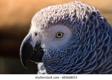 Close up photo of gray parrot