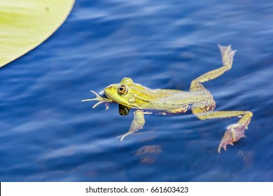 Close up photo of green bullfrog in the water