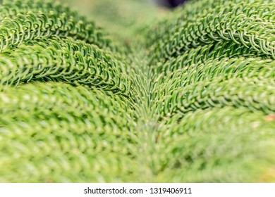 Close Up photo of green needle pine tree. Blurred pine needles in background