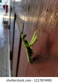 Close up Photo of green praying mantis  (Mantis religiosa).  image of green mantis looking in camera with curiosity. Focus of Preying Mantis Mantid Mantises on wooden door in the temple of Thailand.
