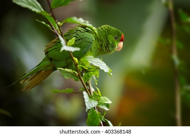 Close up photo of green and red Scarlet-fronted Parakeet, Psittacara wagleri, perched on hibiscus branch. Wildlife photo of aratinga parrot in forest of Sierra Nevada de Santa Marta, Colombia.