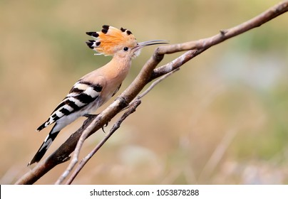 Close up photo a hoopoe sits on a diagonale branch on blurred background