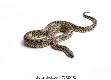 Close up photo of huge and dangerous yellow anacondas (Eunectes notaeusready to attack on white background isolated, a lot of copyspace available, macrophotography