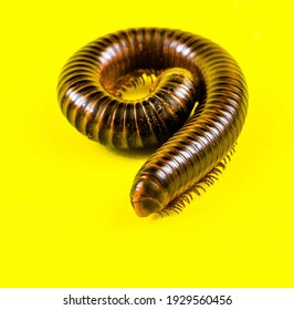 Close Up Photo Of Invertebrates. Millipede Animal In The Studio On A Yellow Background. Millipedes With A Cylindrical Body And Brownish Color. - Shutterstock ID 1929560456
