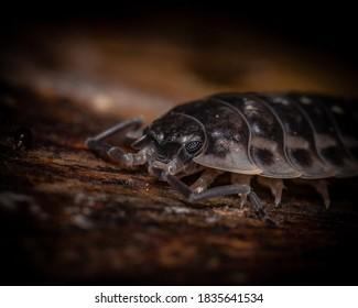 close up photo of isopod - Shutterstock ID 1835641534