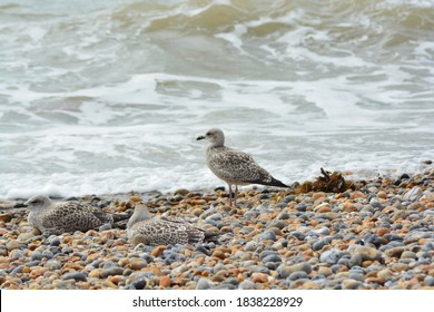 A close up photo of a juvenile/young Herring Gulls with first winter plumage on the pebble beach  near Brighton Palace Pier.