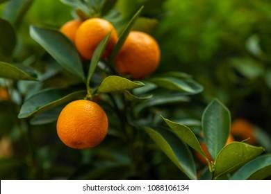 The close up photo of Kumquats orange or Citrus japonica foliage and fruits