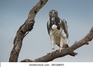 Close up photo of largest african eagle, Martial eagle, Polemaetus bellicosus perched on dead tree with full crop, staring directly at camera against blue sky. Kruger national park, South Africa.