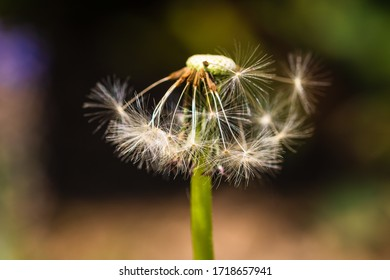 Close up photo, macro shot with details of dandelion flower isolated.