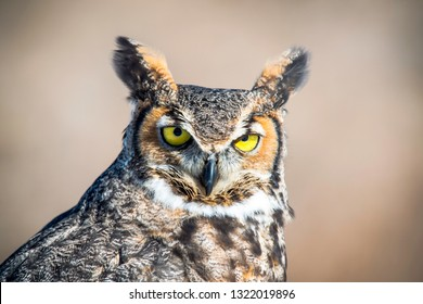 Up close photo of a magnificent great horned owl, also called a hoot owl, and often referred to as wise.