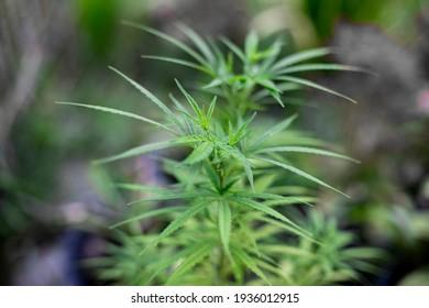 Close up photo of Marijuana tree
