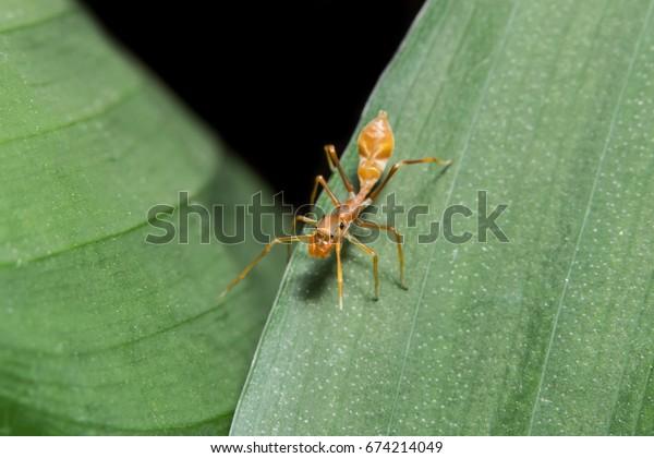 Close up photo of Myrmarachne plataleoides on leaf