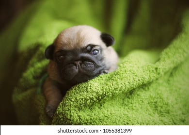Close up photo of newborn puppy pug. Newborn dog.
