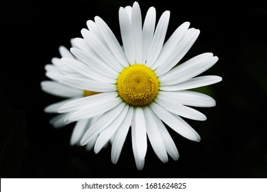 Close up photo of Oxeye Daisy with black background