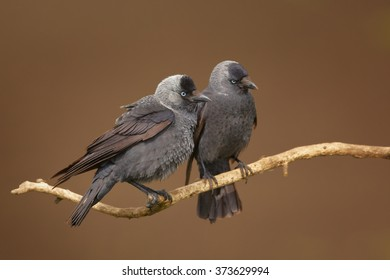 Close up photo of pair black and grey birds with light blue eyes from crow family, Corvus monedula, Western jackdaw, perched on branch in mating season. Isolated on brown abstract background.