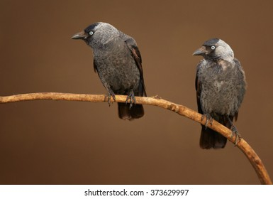 Close up photo of pair black and grey birds with light blue eyes from crow family,Corvus monedula,Western jackdaw, perched on diagonal branch in mating season. Isolated on brown abstract background.