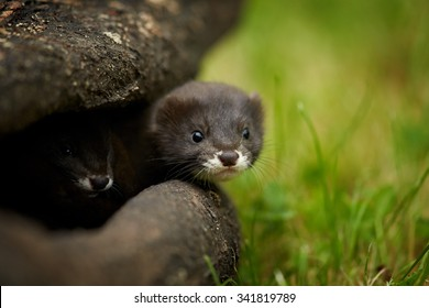 Close up photo of pair of European minks watching surrounding from shelter in trunk