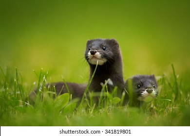 Close up photo of pair of European minks watching surrounding from grass, green distant background