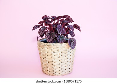 Close up photo of the Peperomia Ruby Ripple (Peperomia caperata) pot plant in a basket, with deeply ribbed, dark burgundy/maroon leaves, isolated on a pink background.