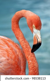 Close up photo of a pink flamingo.