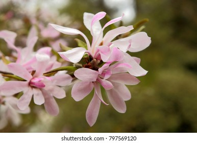 Close up photo of pink Magnolia stellata 'Rosea' flower in spring time.