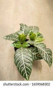 Close photo of the plant Aphelandra Squarrosa. The photo was taken from the top. The plant is in the flowerpot.