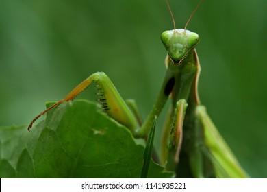 Close up Photo of a praying mantis (Mantis religiosa)