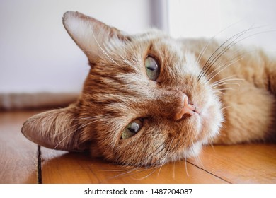 Close up photo of red cat looking straight towards camera. Lovely cat relaxing, pink nose