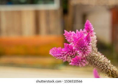 close up photo and selective focus of cockscomb flamingo feather with blurred background, celosia argentea, celosia spicata spreng, botany