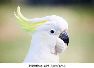 A close up photo showing the head of a Sulphur-Crested Cockatoo isolated on a blurred green background. The Sulphur-Crested Cockatoo is a large parrot found in Australia, New Guinea, and Indonesia.