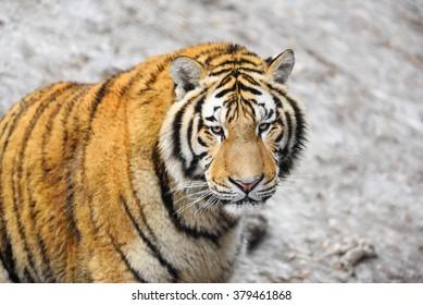 Close up photo of siberian tiger.