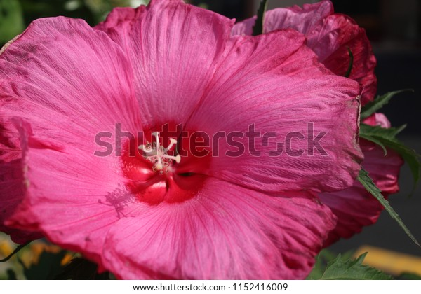 A close up photo of a single pink rose of Sharon flower with a red center. Note the subtle shadow of the pistol and stamen. This was taken using natural lighting during the summer in Queens New York.
