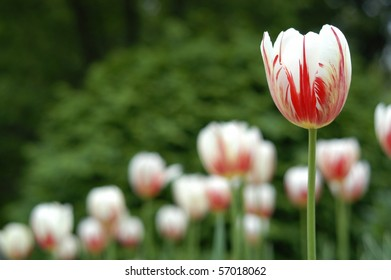 Close photo of single red and white tulip with additional tulips out of focus at ground level.