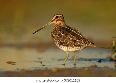 Close up photo of small wader,migratory bird with long bill,Common Snipe, Gallinago gallinago, brown plumage with straw-yellow stripes on shore of small lagoon in early morning. Blurred background.