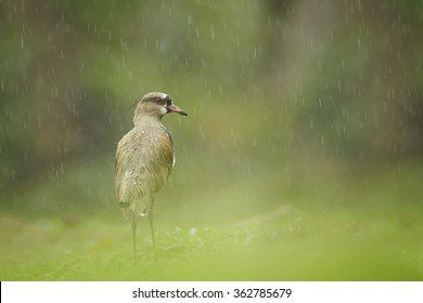 Close up photo Southern Lapwing Vanellus chilensis in heavy tropical rain with drops of water on feather. Low angle, blurred green background. Rain effect.