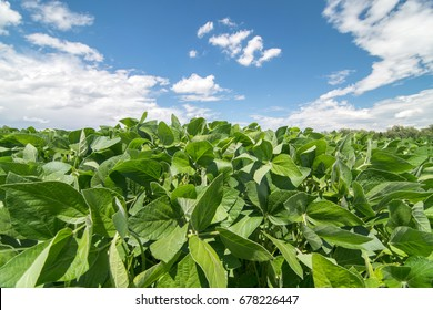 Close up photo of soy field. Soy agriculture