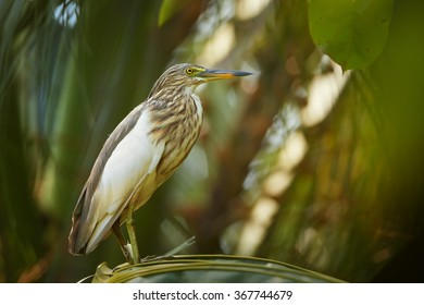 Close up photo of striped wading bird Indian Pond-heron Ardeola grayii in beautiful light, perched on palm tree leaf. Long bill, biege plumage. Abstract blurred green forest background. Sri Lanka.