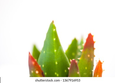 A close up photo of a succulent Torch Plant (aloe aristata) with green, fleshy, spikey foliage tipped with red, isolated on a white background leaving white space for text.