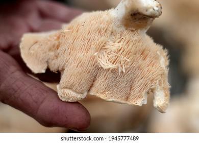Close up photo of the underside of a 'langue de boeuf' mushroom