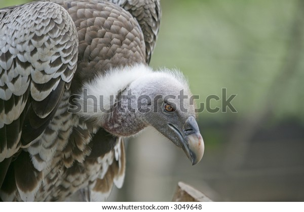 Close up photo of a vulture