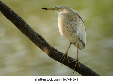 Close up photo of wading bird Indian Pond-heron Ardeola grayii in beautiful light, perched on diagonal branch over water surface. Biege striped plumage,long bill.  Water background. Sri Lanka.
