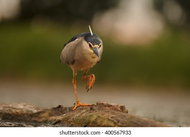 Close up photo of water bird Black-crowned Night Heron, Nycticorax nycticorax from front view, walking on old trunk submerged in water, against blurred background.