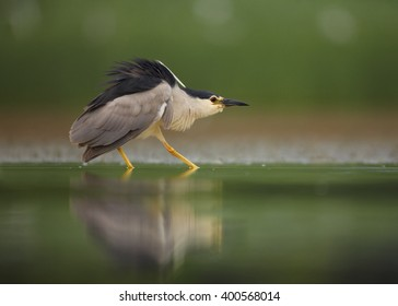 Close up photo of water bird Black-crowned Night Heron, Nycticorax nycticorax from water level, in threatening pose, against blurred background.