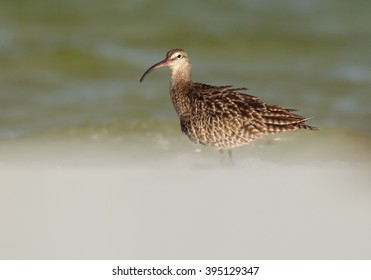 Close up photo of Whimbrel, Numenius phaeopus,wading bird with long curved beak,  standing in shallow water on white beach of Zanzibar island against blurred waves in background.