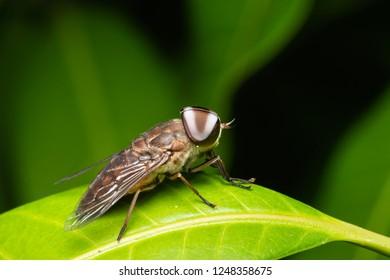 close up photo white eye hourse fly on green leaf/Tabanus petiolatus