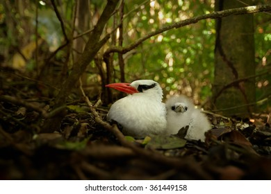Close up photo of white Red-billed Tropicbird Phaethon aethereus on nest with one down feather chick, staring directly at camera. Blurred forest of Little Tobago in background.