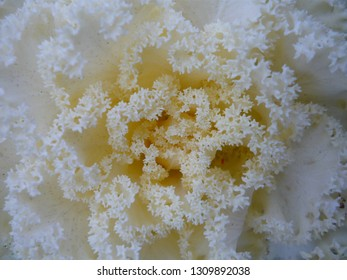 Close up photo of white and yellowish cole city flower at winter weather