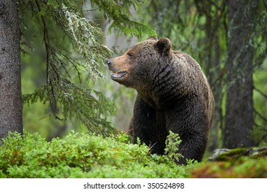 A close up photo of a wild bear, big male brown bear, ursus arctos in green spruce, European forest, among tree trunks, sniffing in the air. Wildlife photography in taiga wilderness. Russia border.