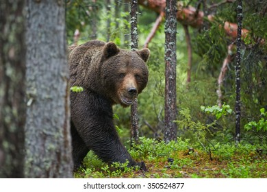 A close up photo of a wild, big male brown bear, ursus arctos in spruce, european forest, partly hidden behind tree trunk, staring directly at the camera.Wildlife photography in taiga wilderness.